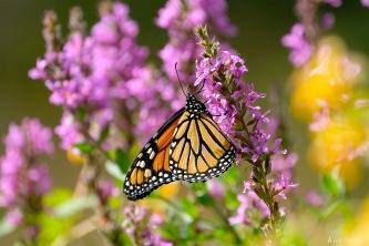 Monarch Butterflies Purple Loosestrife Lythrum salicaria copyright Kim Smith - 13