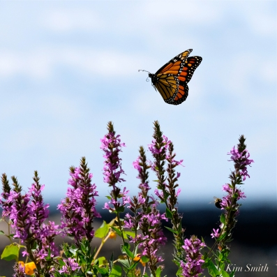 Monarch Butterflies Purple Loosestrife Lythrum salicaria copyright Kim Smith- 15
