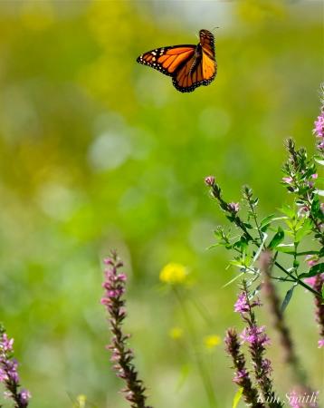 Monarch Butterflies Purple Loosestrife Lythrum salicaria copyright Kim Smith - 16