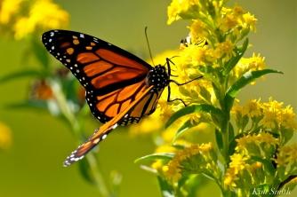 Monarch Butterflies Seaside Goldenrod copyright Kim Smith - 01
