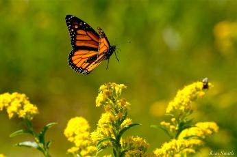 Monarch Butterflies Seaside Goldenrod copyright Kim Smith - 06