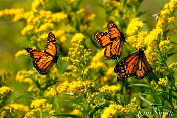 Monarch Butterflies Seaside Goldenrod copyright Kim Smith - 08