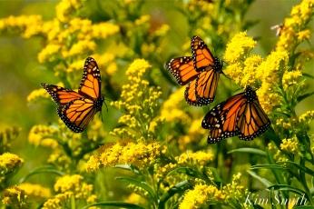 Monarch Butterflies Seaside Goldenrod copyright Kim Smith - 08