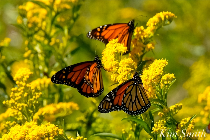 Monarch Butterflies Seaside Goldenrod copyright Kim Smith - 09