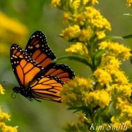 Monarch Butterflies Seaside Goldenrod copyright Kim Smith - 19 copy