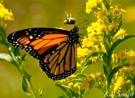 Monarch Butterfly Bee Seaside Goldenrod copyright Kim Smith - 05