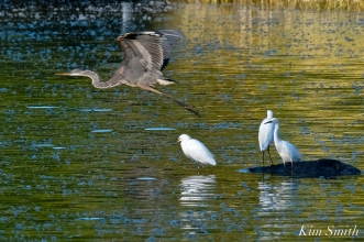 Snowy Egrets Photobombed by Great Blue Heron copyright Kim Smith
