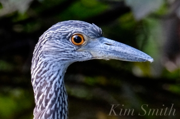 Yellow-crowned Night Heron Juvenile Gloucester MAssachusetts -2 copyright Kim Smith