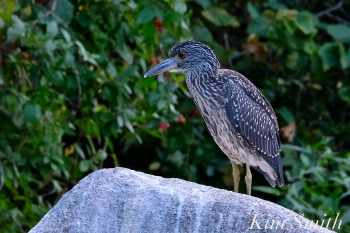 Yellow-crowned Night Heron Juvenile Gloucester MAssachusetts -3 copyright Kim Smith