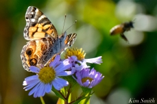 American Lady Butterfly Honey Bee Late Blooming Aster copyright Kim Smith .jpg