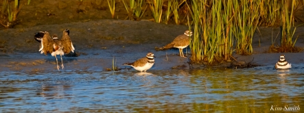 Killdeer Family Good Harbor Beach Gloucester copyright Kim Smith