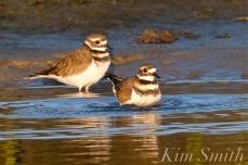 Killdeers Bathing -2 Good Harbor Beach Gloucester copyright Kim Smith