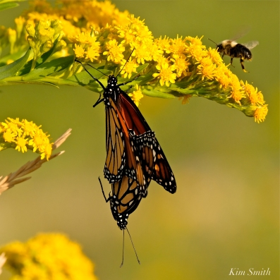 Monarch Butterflies Mating September Seaside Goldenrod copyright Kim Smith - 1