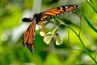 Monarch Butterfly Black Mustard -2 copyright Kim Smith