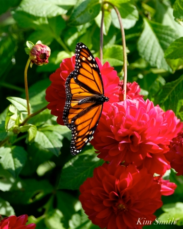 Monarch Butterfly Red Dahlia -4 copyright Kim Smith