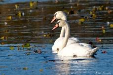 Mute Swans Cygnus olor Gloucester MA copyright Kim Smith - 02