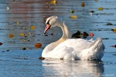 Mute Swans Cygnus olor Gloucester MA copyright Kim Smith - 03