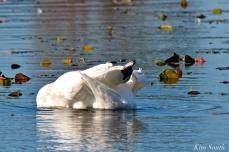 Mute Swans Cygnus olor Gloucester MA copyright Kim Smith - 04