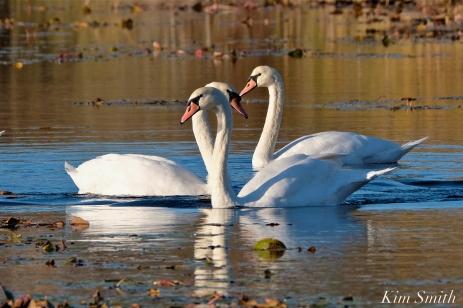 Mute Swans Cygnus olor Gloucester MA copyright Kim Smith - 08