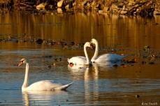 Mute Swans Cygnus olor Gloucester MA copyright Kim Smith - 15