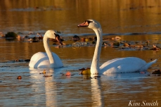 Mute Swans Cygnus olor Gloucester MA copyright Kim Smith - 16