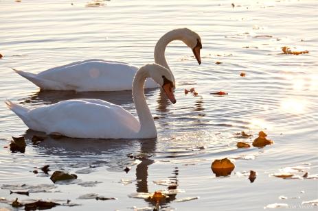 Mute Swans Cygnus olor Gloucester MA copyright Kim Smith - 18