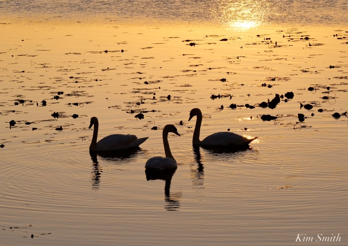 Mute Swans Cygnus olor Gloucester MA copyright Kim Smith - 22