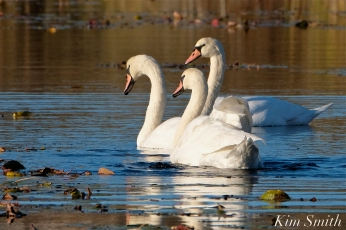 Mute Swans Cygnus olor Three Gloucester MA copyright Kim Smith - 11