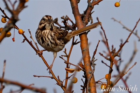 Song Sparrow Gloucester MA -2 copyright Kim Smith