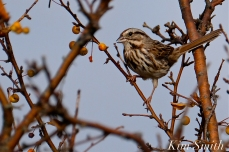 Song Sparrow Gloucester MA copyright Kim Smith