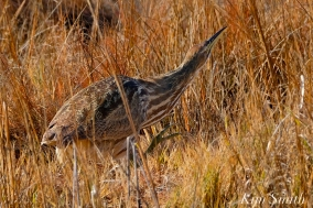 American Bittern Massachusetts copyright Kim Smith - 12