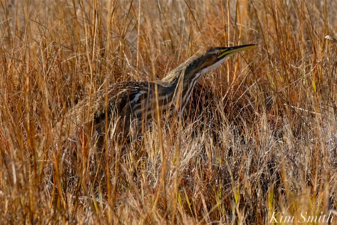 American Bittern Massachusetts copyright Kim Smith - 13
