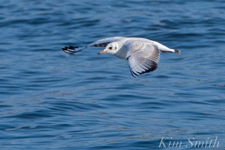 Bonapartae's Gull Brace Cove copyright Kim Smith - 08