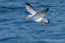 Bonapartae's Gull Brace Cove copyright Kim Smith - 09