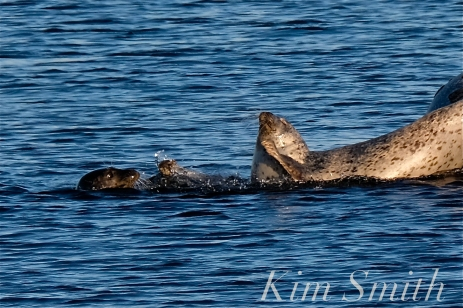 Harbor Seals Brace Cove copyright Kim Smith - 01