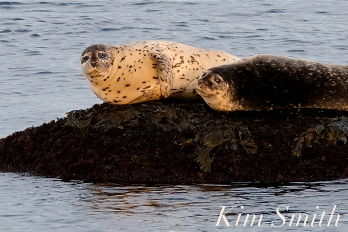 Harbor Seals Brace Cove Gloucester MA copyright Kim Smith - 2