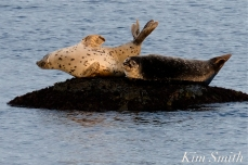 Harbor Seals Brace Cove Gloucester MA copyright Kim Smith - 4