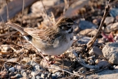 Lark Sparrow Niles Pond Brace Cove copyright Kim Smith - 12