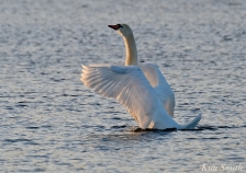 Mute Swan Niles Pond copyright Kim Smith - 15 copy