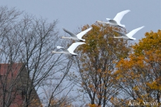 Mute Swans Cygnus olor Gloucester MA copyright Kim Smith - 12