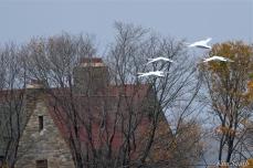 Mute Swans Cygnus olor Gloucester MA copyright Kim Smith - 13