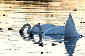 Mute Swans Cygnus olor Gloucester MA copyright Kim Smith - 24