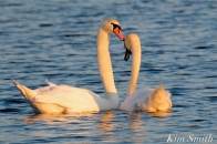 Mute Swans Cygnus olor Gloucester MA copyright Kim Smith - 26