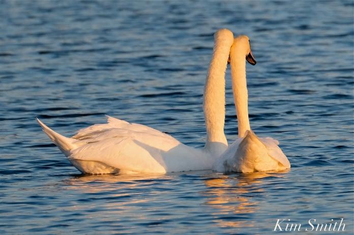 Mute Swans Cygnus olor Gloucester MA copyright Kim Smith - 27