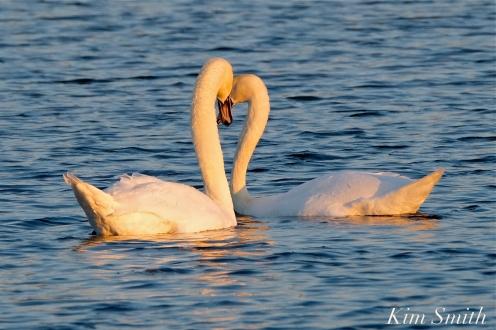 Mute Swans Cygnus olor Gloucester MA copyright Kim Smith - 28
