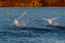 Mute Swans Cygnus olor Gloucester MA copyright Kim Smith - 31 copy