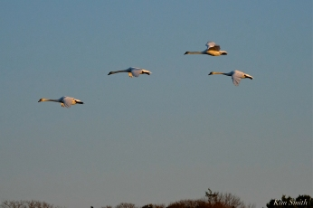 Mute Swans Cygnus olor Gloucester MA copyright Kim Smith - 35