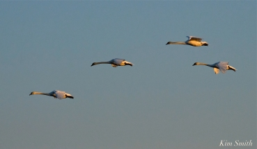 Mute Swans Cygnus olor Gloucester MA copyright Kim Smith - 36