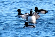 Ring-necked Duck Niles Pond copyright Kim Smith - 24