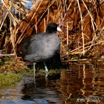 American Coot Gloucester Massachusetts copyright Kim Smith - 04